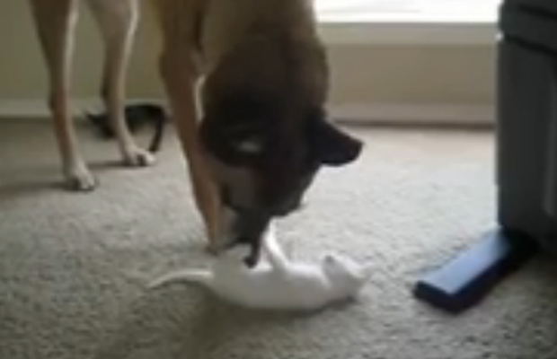 A retired military dog meeting a kitten for the first time (awwww):